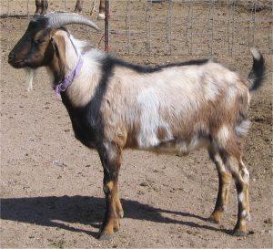Nubian Spotted Buck